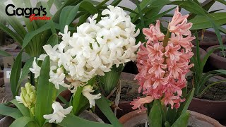 How To Grow And Care Hyacinth Bulbous Plant