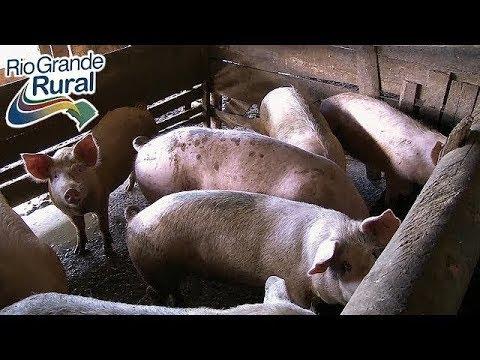 É possível engordar suínos com silagem para bovino?