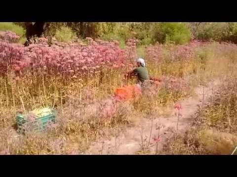 Kuko halamang-singaw Kedem