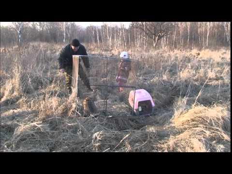 Выпуск Дальневосточных лесных котов и обыкновенных канюков - Приморский Сафари Парк
