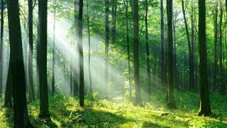 Relaxing Harp Music 🎵 Peaceful Birds Sounds, Stress Relief Music (Forest Light)