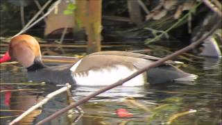 preview picture of video 'redcrestedpochard'