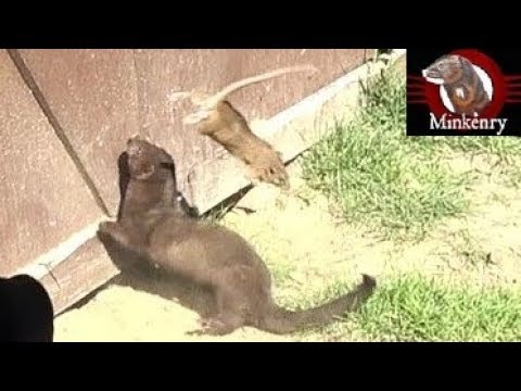 A dog and mink work together to hunt rats.