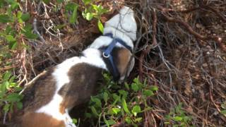 Basset Hound.Hunting with Lily 1