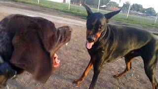Doberman Vs German Shorthaired Pointer Play Time Is Over