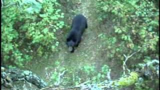 Любопытный медведь
