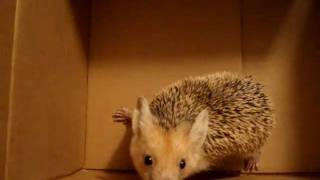 preview picture of video 'IRAQI HEDGEHOG!!!!!!!!!'