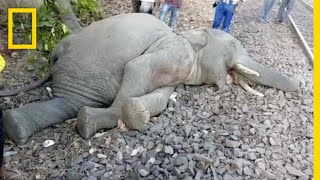 Elephants Hit by Trains in India Poses Challenge for Conservationists   National Geographic thumbnail