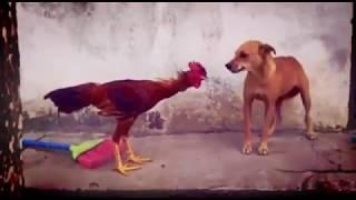 Dog vs Hen Fight | লরেঙ্গে ইয়া মরঙ্গে | Guess who win