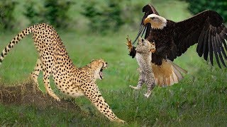 Big Mistake Eagle Provoked Baby Leopard And The Unexpected | Mother Leopard Fail To Save Her Baby