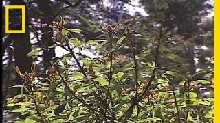 Monarch Butterflies | National Geographic thumbnail