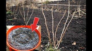 Чем удобрить смородину весной для лучшего урожая