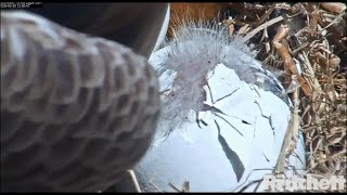 SWFL Eagles ~ M15 Pulls At Shell ~ Helps E15 Along! 💕💕  Hatch In Progress! 3.30.20