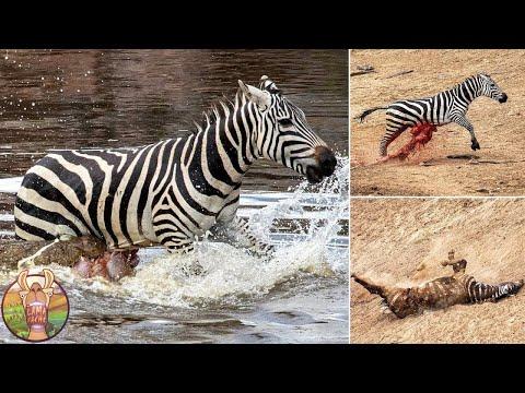 Combats Les Plus Extrêmes Entre les Animaux et Leurs Prédateurs Sauvages !