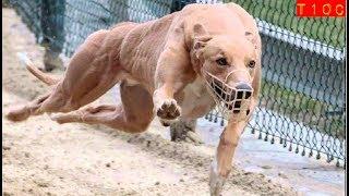 Top 10 razas de perros Galgo mas veloces del mundo