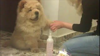 Cute chow chow puppy love to be clean