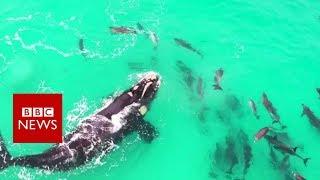 Une baleine qui joue avec des dauphins