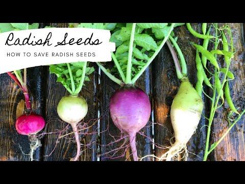How To Save Radish Seeds 🌱 Black Spanish Radish 🌱 Gardening