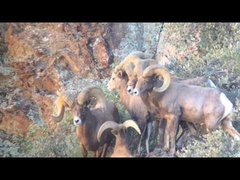 Desert bighorn sheep hunt in Arizona Pope and Young world record