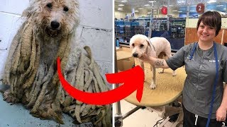 Shelter Staff Shaved Poodle With Pounds Of Dreadlocks  What She Found Underneath Made Me Cry