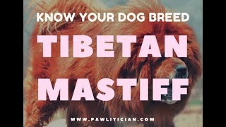 Know Your Dog Breed: Tibetan Mastiff