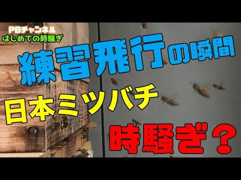 , title : '【日本ミツバチ庭先養蜂家】初めての時騒ぎ(オリエンテーションフライト)入居1ヶ月【庭先養蜂家】