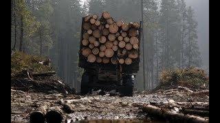 Правительство заявило о начале борьбы с контрабандой леса из Украины в ЕС