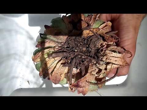 El ungüento lorinden y del hongo de las uñas