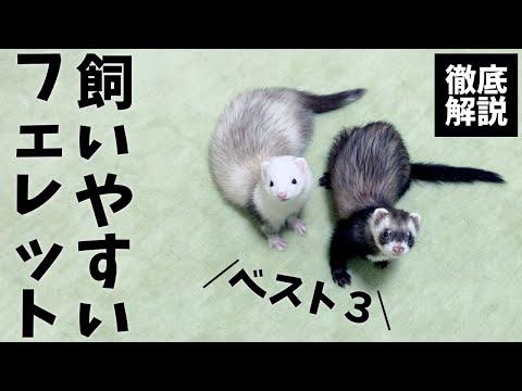 , title : '初心者が飼いやすいフェレットランキング《ベスト3》【飼育方法】