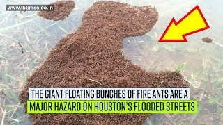 Floating fire ants is another hazard in Houston's flooded streets