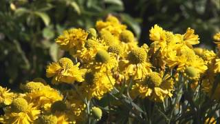 Late-Season Perennial Flowers to Grow in Your Garden