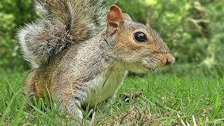 Videos for Cats to Watch - Squirrel Mania