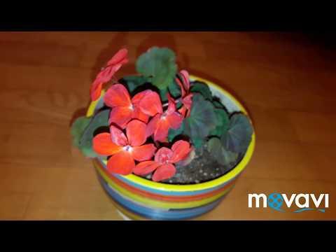 Пеларгония миниатюрная Red Black Vezuvius