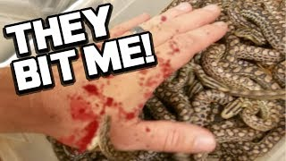 29 BABY SNAKES BITE ME!! LIVE BIRTH!! Brian Barczyk