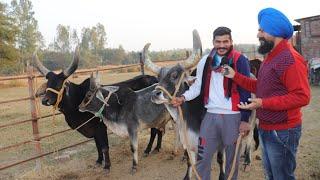 कांकरेज साहीवाल देसी गाय का सुंदर फार्मkankrej Sahiwal Desi Cow Farm In Haryana India