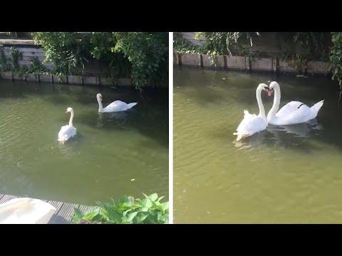 Встреча влюбленных лебедей после долгой разлуки