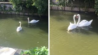 Swans Dancing Together After Reunion