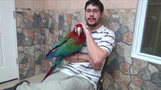 Santina Green Winged Macaw - 4 weeks with me