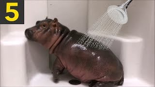 Top 5 Cute Hippos getting Watered