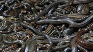 Khóc thét với đảo rắn kinh hoàng nhất Nam Mỹ