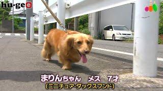 【きょうのわんこ】まりんちゃんが夏の散歩のあとにするキモチイイこととは?