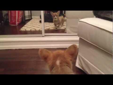當小柯基第一次在鏡中看到自己的反應是...