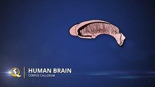 Corpus Callosum - The Human Brain Series - Part 19