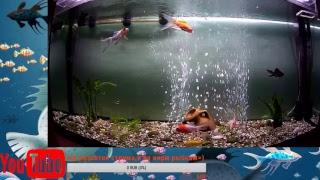 Кометы рыбки (live Cam)