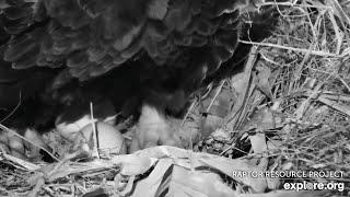 Decorah Iowa Eagles~Mom lays her second egg of season~5:26 pm 2020/02/29