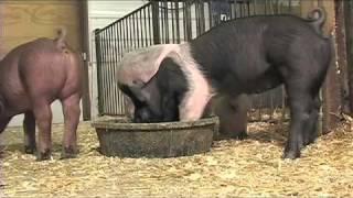 Show Pig Maturity Patterns