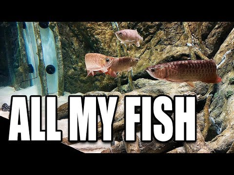 FEEDING HUNDREDS OF AQUARIUM FISH