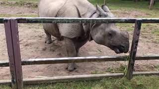 ???? VIRTUAL ZOO DAY 6 LIVE: Breakfast with the one horned rhinos! ????