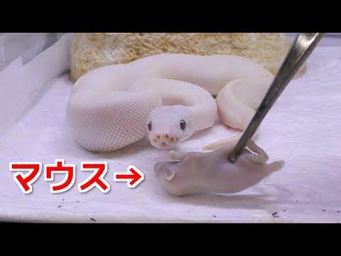 , title : '飼ってる白ヘビに餌やりしたら可愛過ぎた