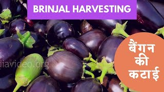 Brinjal Farm in Boregaom, Nagpur